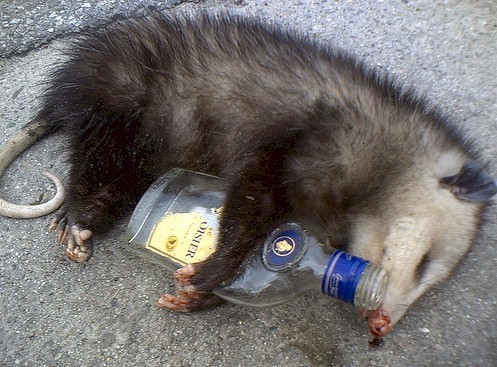 You can't stop the party possum because the party possum don't stop.